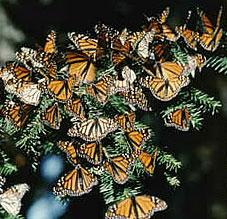 Monarch butterflies congregate