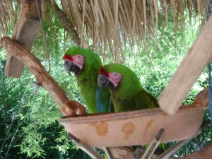Macaws mate for life. These two have been together for over a decade.