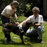 Washing a rescued dog.
